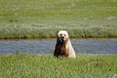 Bruin draag Alaska Royalty-vrije Stock Foto