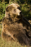 Bruin draag/arctos Ursus stock foto's