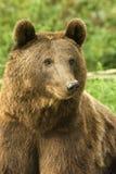 Bruin draag/arctos Ursus stock foto