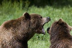 Bruin draag/arctos Ursus Stock Fotografie