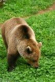 Bruin draag (arctos Ursus) Stock Foto's