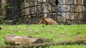 Bruin draag bij de dierentuin stock footage