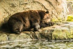 Bruin draag bij de dierentuin Stock Afbeelding