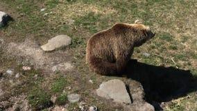 Bruin draag in de dierentuin stock footage