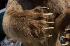 Bruin draag de scherpe Klauwen van Paw With stock afbeelding