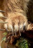 Bruin draag de scherpe Klauwen van Paw With stock fotografie