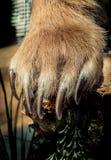 Bruin draag de scherpe Klauwen van Paw With royalty-vrije stock afbeelding