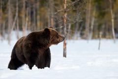 Bruin draag in de sneeuw stock afbeelding