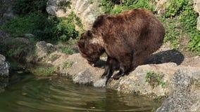 Bruin draag dichtbij water stock footage