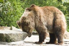 Bruin draag in dierentuin Royalty-vrije Stock Foto's