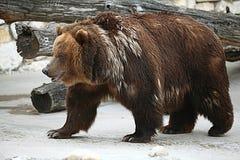 Bruin draag in een dierentuin Stock Afbeeldingen
