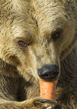 Bruin draag etend een wortel Stock Foto's