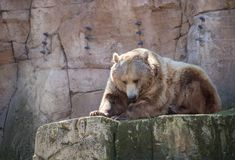 Bruin draag in gevangenschap in een dierentuin stock afbeelding