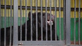 Bruin draag in gevangenschap op hete de zomerdag Dier in dierentuinkooi stock video