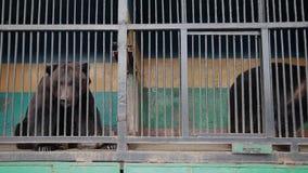 Bruin draag in gevangenschap op hete de zomerdag Dier in dierentuinkooi stock videobeelden