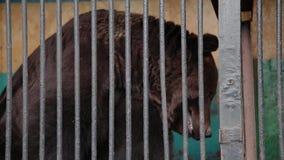 Bruin draag in gevangenschap op hete de zomerdag Dier in dierentuinkooi stock footage