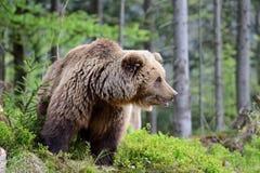 Bruin draag in het bos Stock Foto