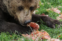 Bruin draag het eten vlees Royalty-vrije Stock Afbeelding