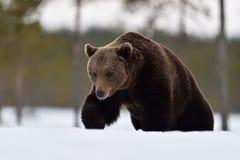 Bruin draag lopend diep in de sneeuw stock fotografie