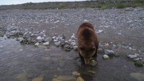 Bruin draag lopend door de kust en bekijkend de camera stock video