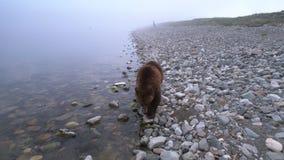 Bruin draag lopend door de kust en zoekend het voedsel stock footage