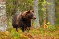 Bruin draag lopend in een kleurrijk bos stock foto
