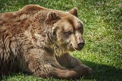 Bruin draag op het groene gras royalty-vrije stock foto