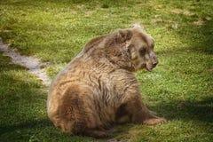 Bruin draag op het groene gras royalty-vrije stock afbeelding