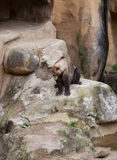 Bruin draag op rotsen stock foto's