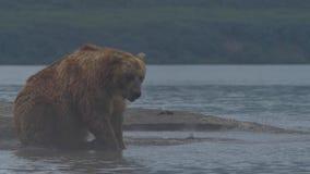 Bruin draag proberend om een vis te vangen stock footage