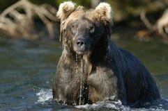 Bruin draag in rivier en water het druipen Stock Fotografie