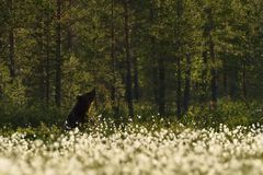 Bruin draag rustend in bos Stock Fotografie