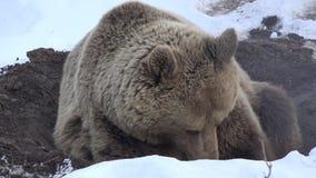 Bruin draag rustend op sneeuw, treft het leuke wilde dier te hiberneren voorbereidingen stock video