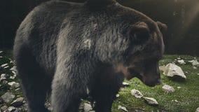 Bruin draag Ursus-arctos in wilde aard stock video
