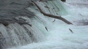 Bruin draag vangende het springen zalm in medio lucht bij Bekendalingen, het Nationale Park van Katmai, Alaska stock videobeelden