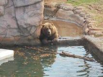 Bruin draag in water Stock Foto