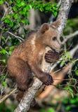 Bruin draag welp beklimt een boom Natuurlijke Habitat stock foto's