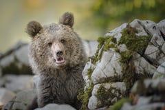 Bruin draag welp in Slovenië Royalty-vrije Stock Afbeelding