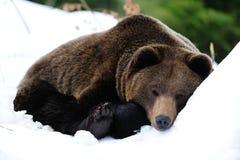 Bruin draag zijn slaap in sneeuw stock fotografie