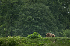 Bruin draag zittend in het bos stock afbeeldingen