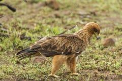 Bruin Eagle Stock Afbeeldingen