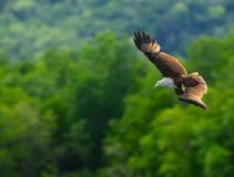 Bruin Eagle Stock Fotografie