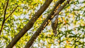Bruin-eared bulbul neergestreken bovenkant - neer op een boomtak Royalty-vrije Stock Afbeeldingen