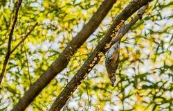 Bruin-eared bulbul neergestreken bovenkant - neer op een boomtak Royalty-vrije Stock Foto's