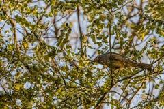 Bruin-eared bulbul neergestreken op een boomtak Stock Fotografie