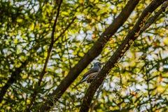 Bruin-eared bulbul neergestreken op een boomtak Royalty-vrije Stock Fotografie