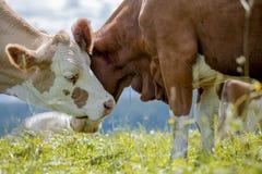 Bruin en Wit flecked Koeien in de Europese Alpen Royalty-vrije Stock Fotografie