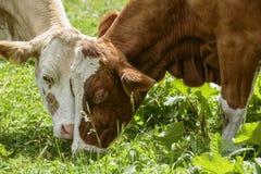 Bruin en Wit flecked Koeien in de Europese Alpen Stock Afbeelding