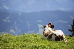 Bruin en Wit flecked Koeien in de Europese Alpen Stock Foto