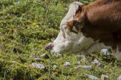 Bruin en Wit flecked Koeien in de Europese Alpen Royalty-vrije Stock Afbeelding